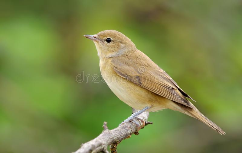 Garden warbler perched on branch in light plumage. Garden warbler posing on branch in light plumage royalty free stock images