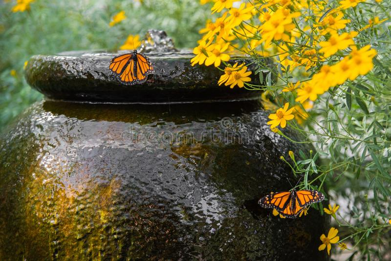 Garden Water Feature. Butterflies gather at the water feature in this garden of daisies stock photos