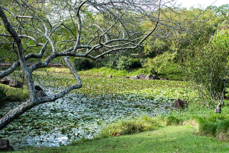Garden water pond filled with lily plants, a bare branched maple tree at waters edge, surrounded by grass and shrubs. Garden water pond filled with lily plants royalty free stock images