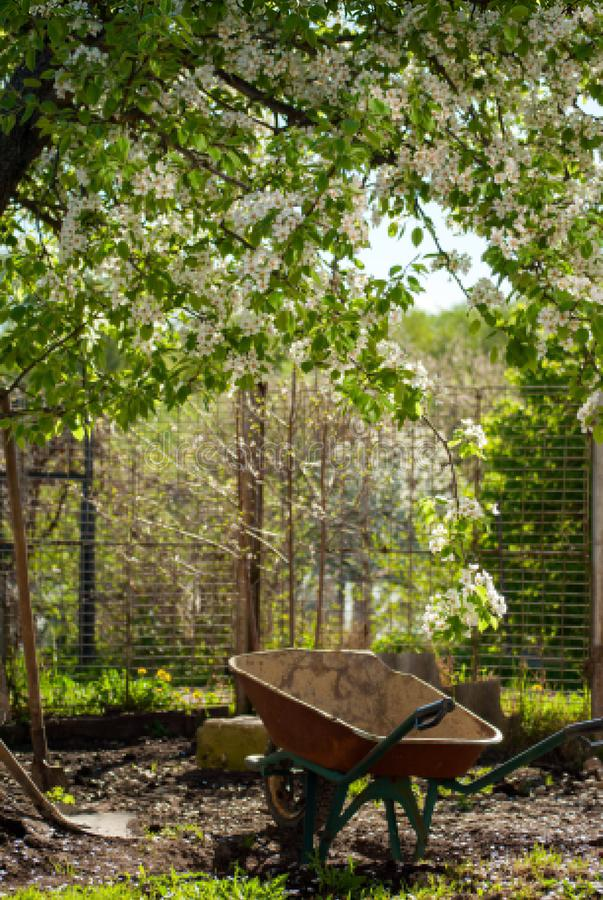Garden wheelbarrow on the yard under the blooming pear tree royalty free stock images