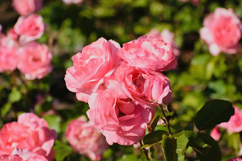 Gentle petals of roses... royalty free stock photo