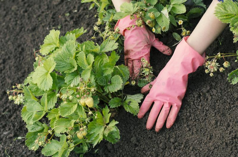 Garden woman is weeding a vegetable bed stock photo