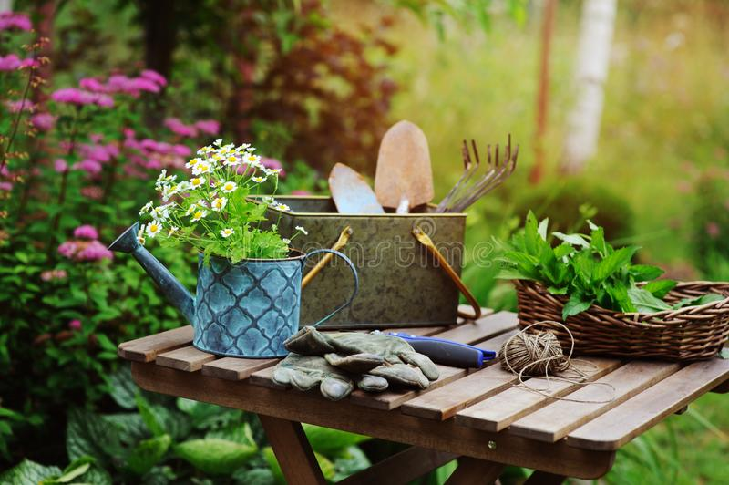 Garden work still life in summer. Camomile flowers, gloves and tools on wooden table outdoor in sunny day. With flowers blooming on background stock images