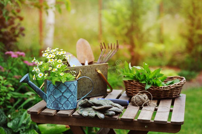 Garden work still life in summer. Camomile flowers, gloves and tools on wooden table outdoor. In sunny day with flowers blooming on background