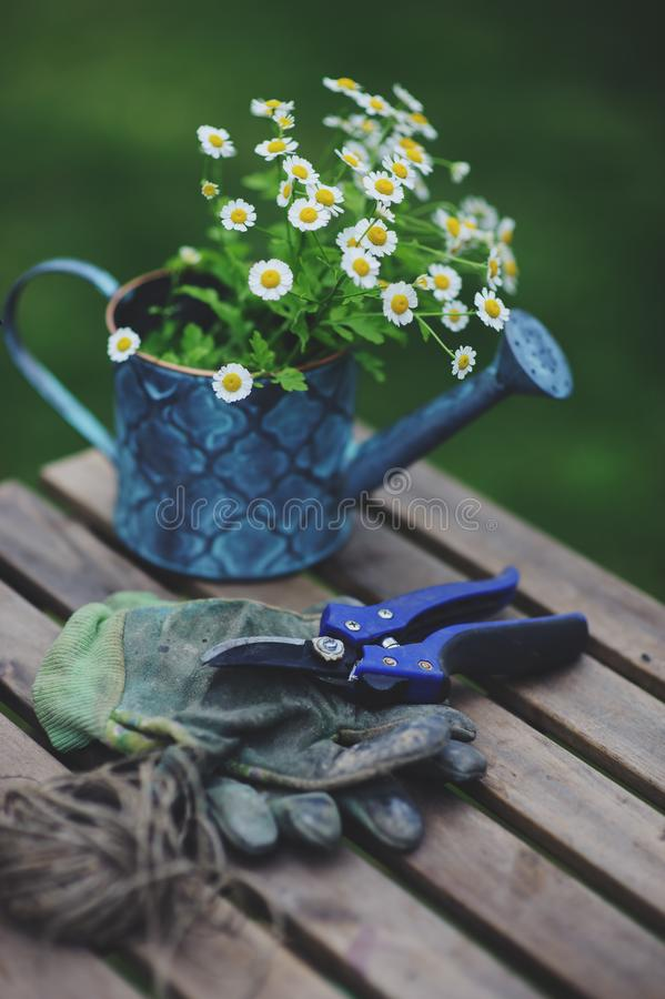 Garden work still life in summer. Chamomile flowers, gloves and tools on wooden table. Outdoor in sunny day with flowers blooming on background royalty free stock photography