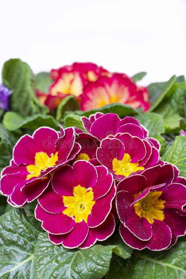 Garden works in spring, colorful primula flowers close up. Garden works in spring, multicolored primula flowers close up stock photography