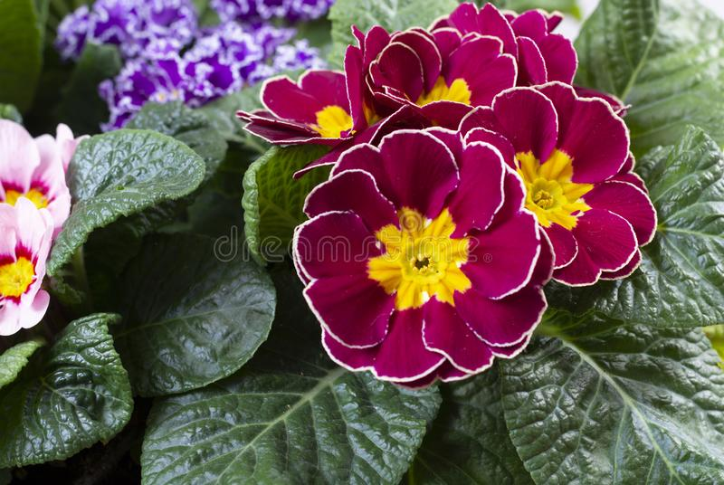 Garden works in spring, colorful primula flowers close up. Garden works in spring, multicolored primula flowers close up royalty free stock image