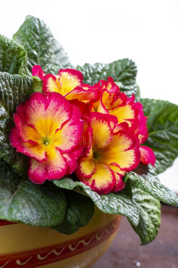 Garden works in spring, colorful primula flowers close up. Garden works in spring, multicolored primula flowers close up royalty free stock images