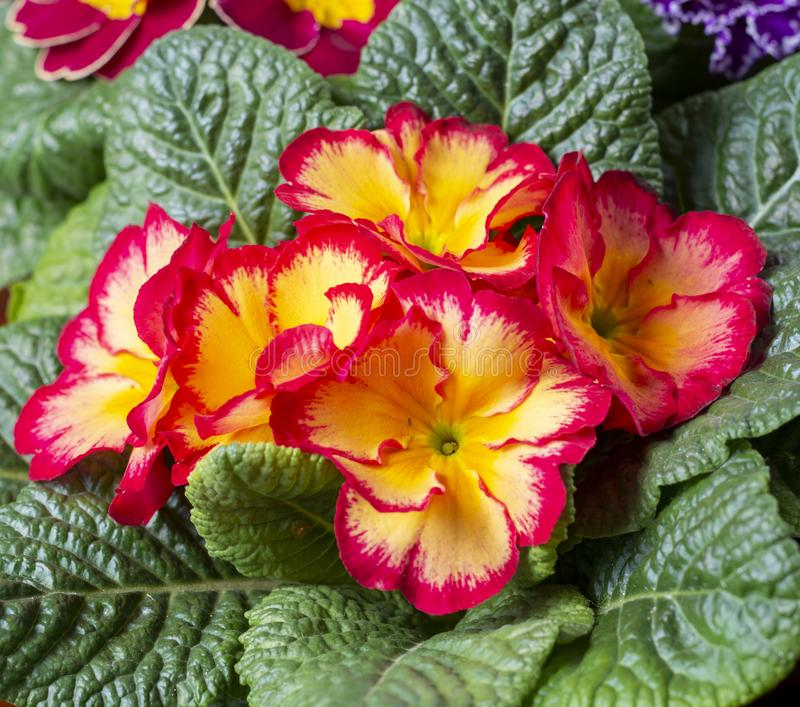 Garden works in spring, colorful primula flowers close up. Garden works in spring, multicolored primula flowers close up royalty free stock photos