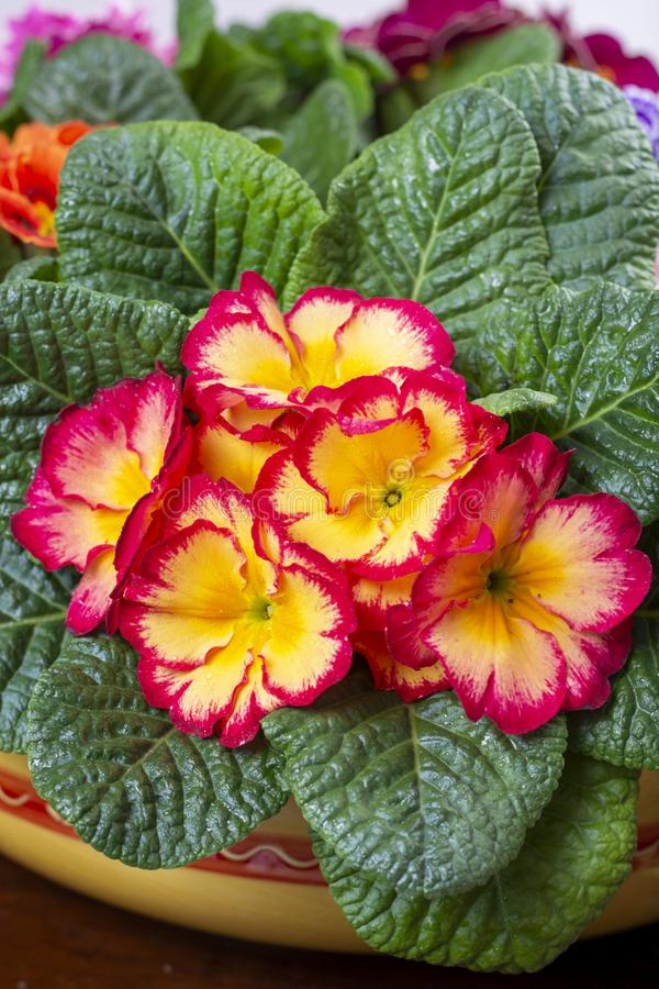 Garden works in spring, colorful primula flowers close up. Garden works in spring, multicolored primula flowers close up stock images