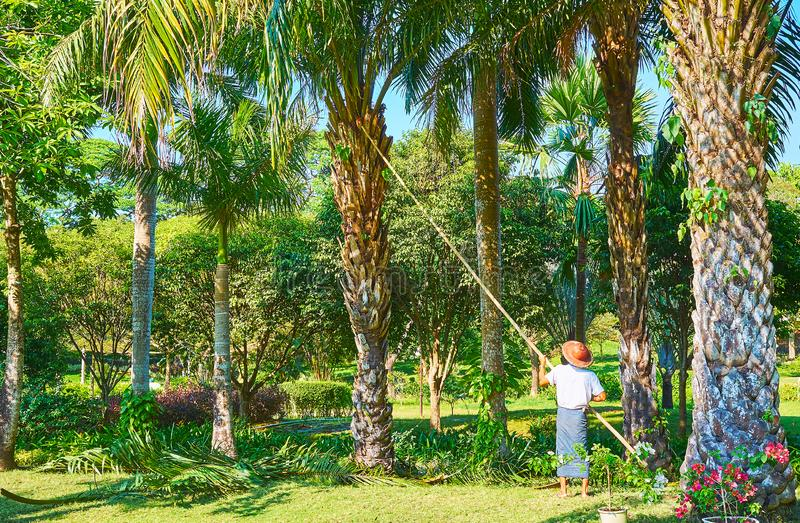 Garden works in Theingottara park, Yangon, Myanmar. The worker of Theingottara park cuts the branches of a palm tree with telescopic pole, Yangon, Myanmar royalty free stock images