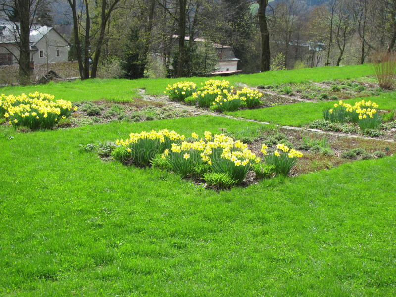 Garden of yellow daffodils Narcissus pseudonarcissus blooming in the mountains. And hills royalty free stock images