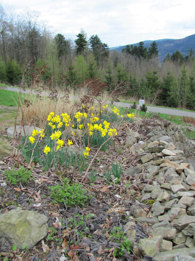 Garden of yellow daffodils Narcissus pseudonarcissus blooming in the mountains. And hills stock image