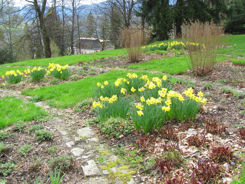 Garden of yellow daffodils Narcissus pseudonarcissus blooming in the mountains. And hills stock photography