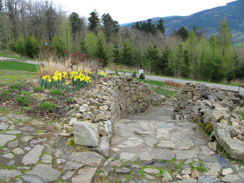 Garden of yellow daffodils Narcissus pseudonarcissus blooming in the mountains. And hills stock images