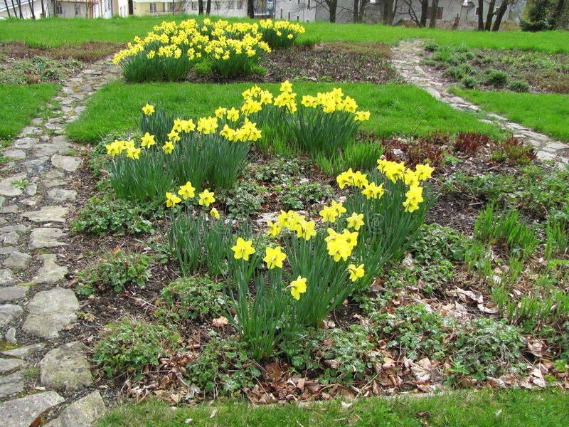 Garden of yellow daffodils Narcissus pseudonarcissus blooming in the mountains. And hills stock photos