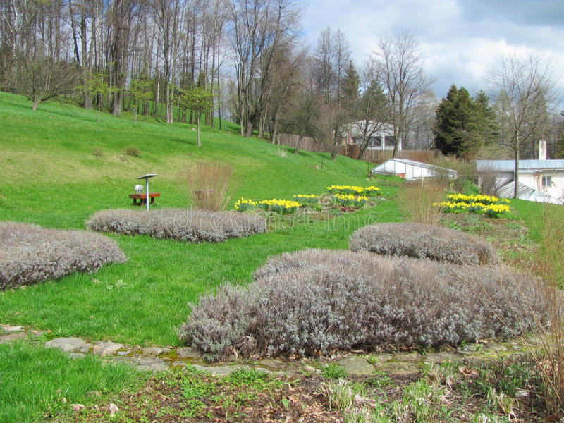 Garden of yellow daffodils Narcissus pseudonarcissus blooming in the mountains. And hills royalty free stock photos