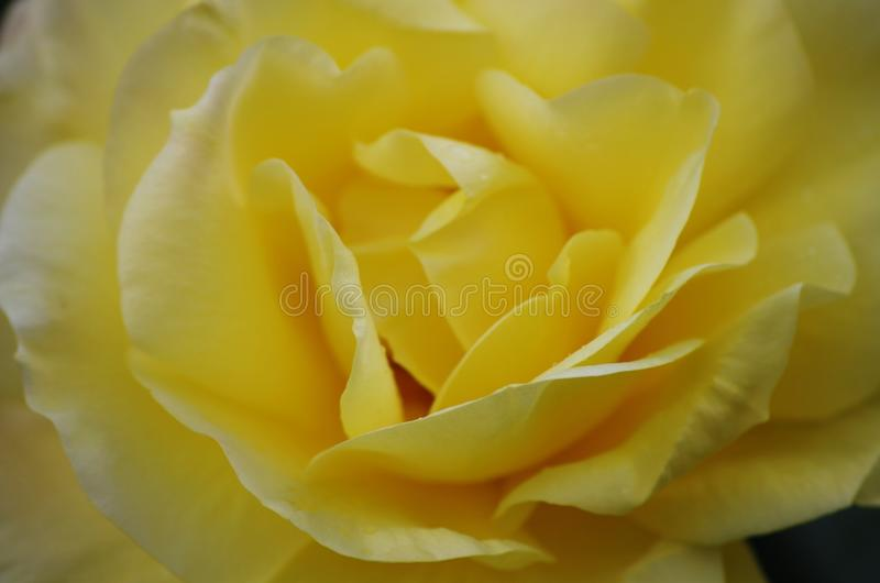 Garden Yellow Roses stock images