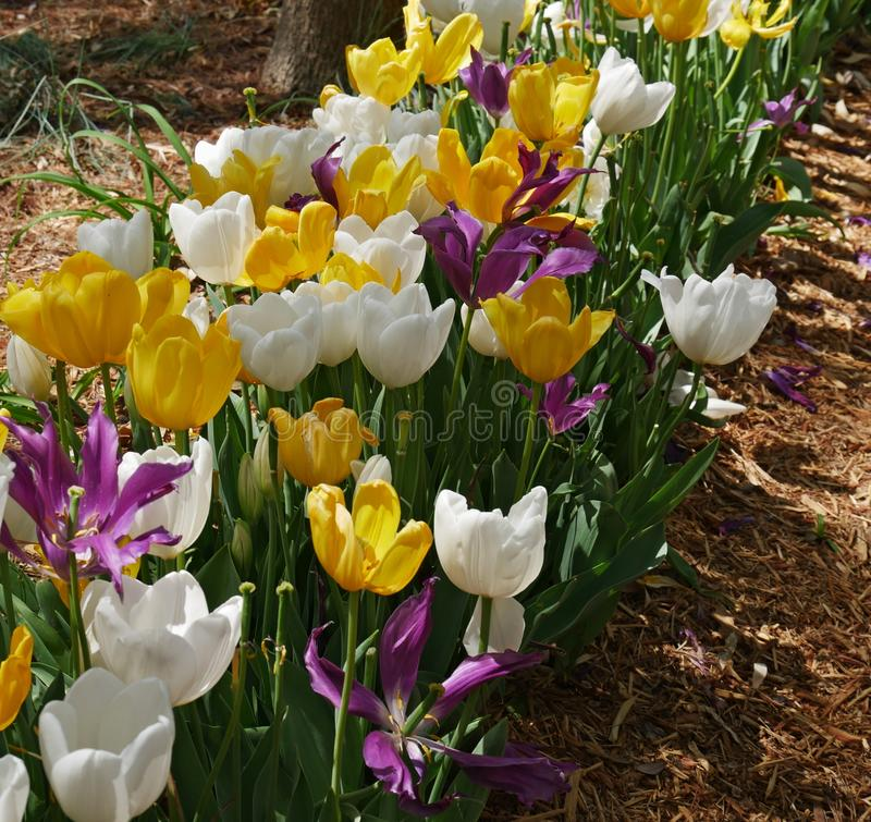 Garden of yellow, white and violet tulips royalty free stock photos