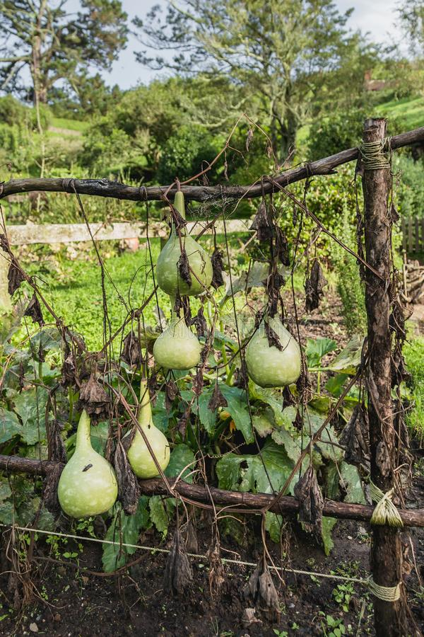 Garden with zucchini on the fence. Garden decoration, old styled royalty free stock image