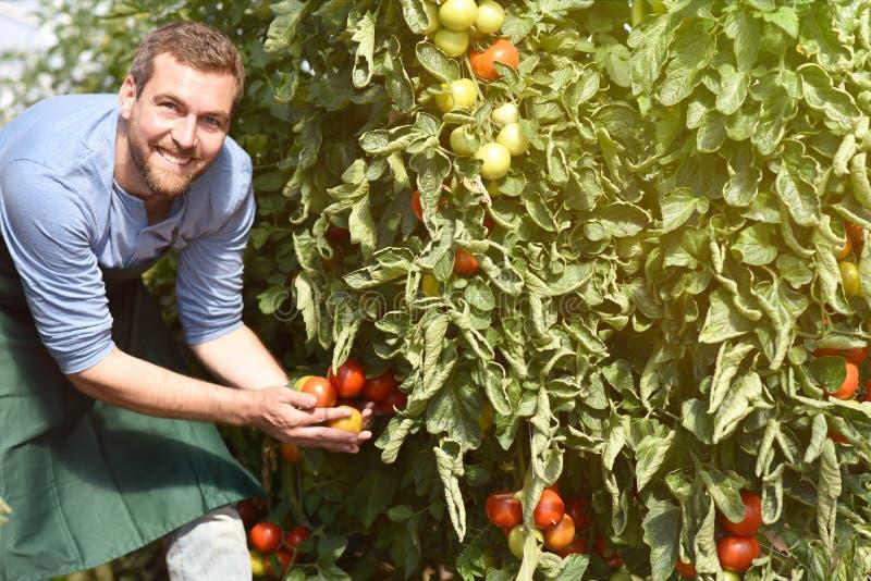 Gardener/bonden arbetar i växthusen som växer tomater royaltyfri fotografi