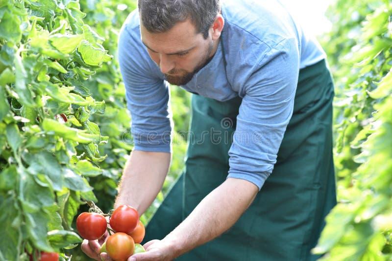 Gardener/bonden arbetar i växthusen som växer tomater arkivfoton
