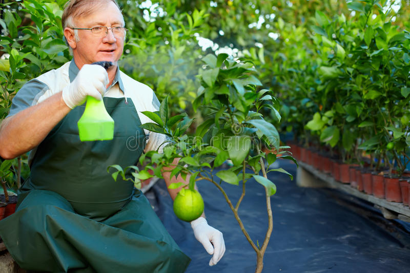 Gardener cares for grapefruit in greenhouse. Senior man, gardener cares for grapefruit plants in greenhouse royalty free stock images