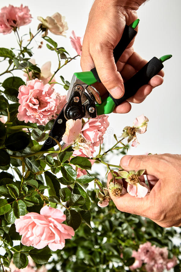 Gardener caring for a rose bush in summer. Trimming off a spray of spent or dead flowers with pruning shears in a close up view over white stock photo
