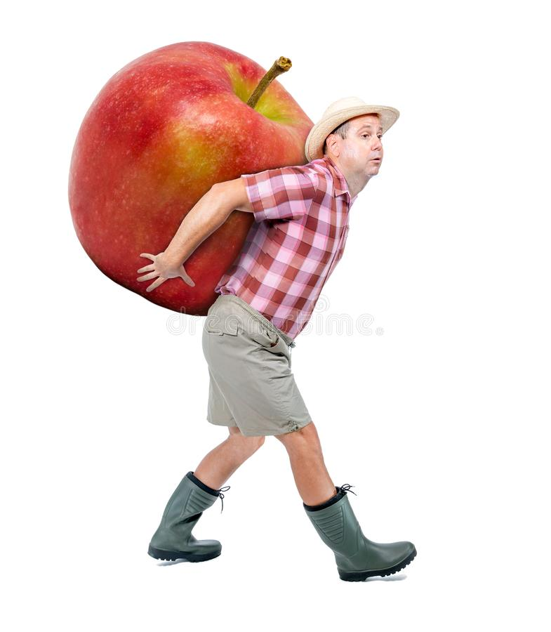 Gardener carrying a large red apple. Funny gardener carrying a large red apple. Farmer hold big apple isolated on white background. Successful fruits grower stock photography