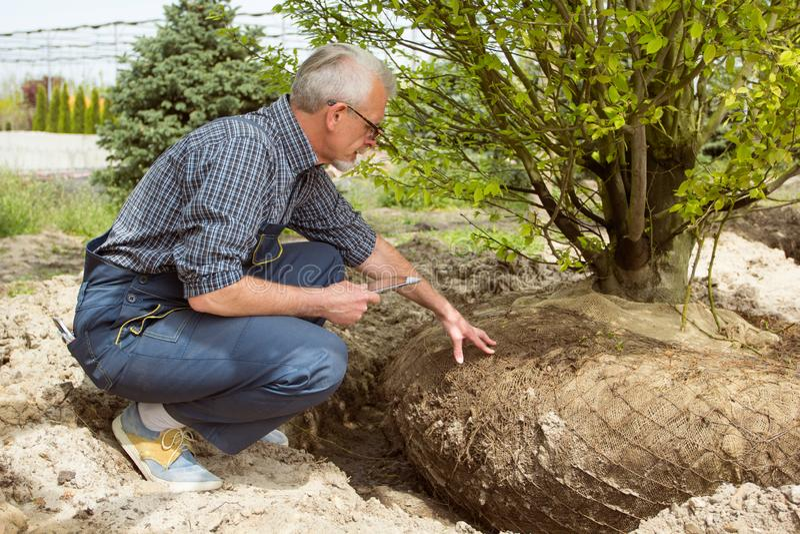 Gardener checks tree roots in garden shop stock photography