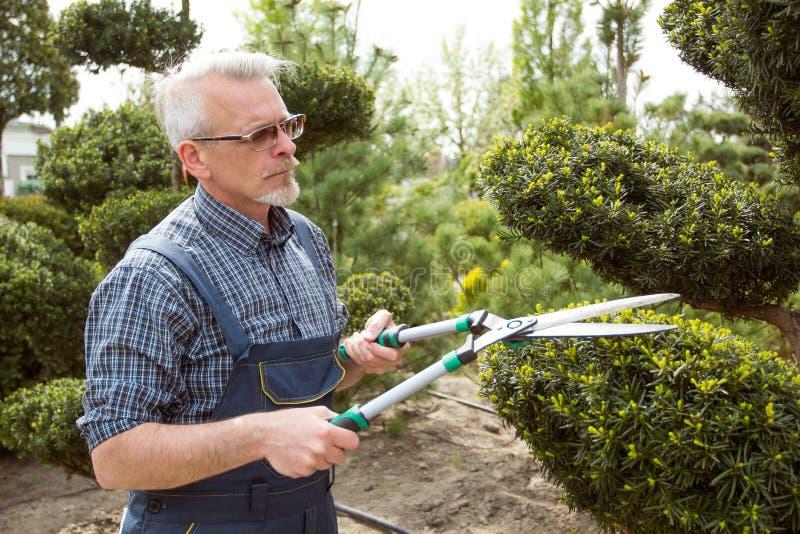 Gardener cuts a decorative shrub shears royalty free stock images