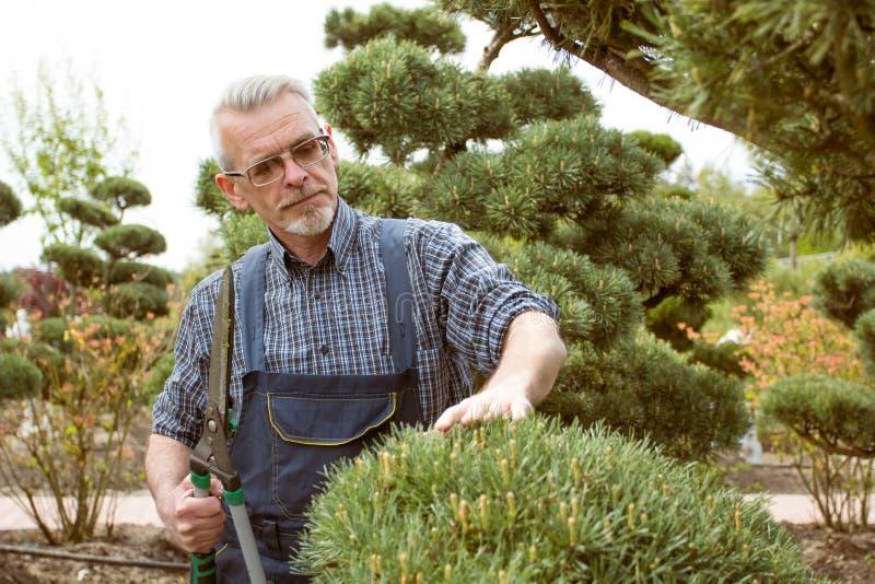 Gardener cuts a decorative shrub shears royalty free stock photography