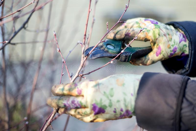 Gardener cutting bush twigs in spring. Hands in working gloves holding green garden pruner and cutting branches against sky stock image