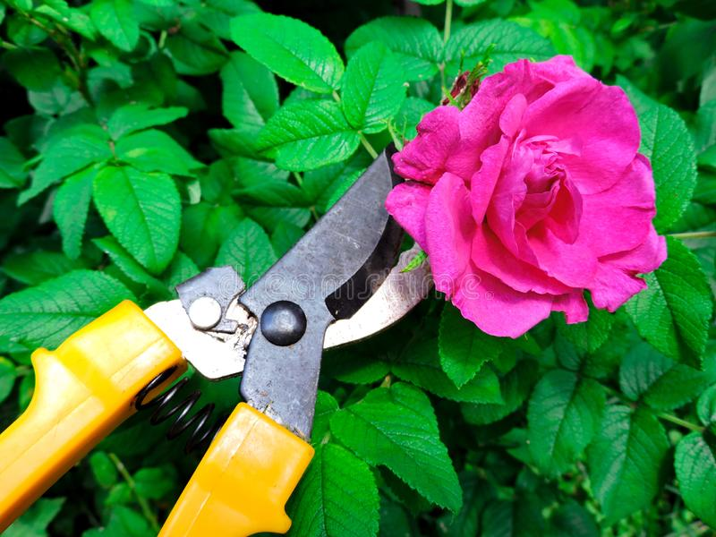 Gardener cutting a hedge with a garden pruner, close up. Single pruner. Female hands with pruner cut Apple tree, close up. royalty free stock image