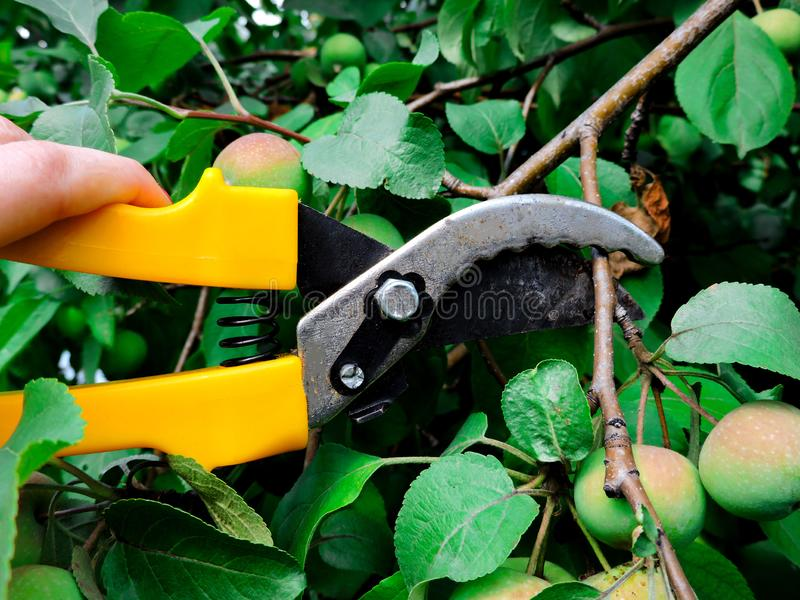 Gardener cutting a hedge with a garden pruner, close up. Single pruner. Female hands with pruner cut Apple tree, close up. royalty free stock images