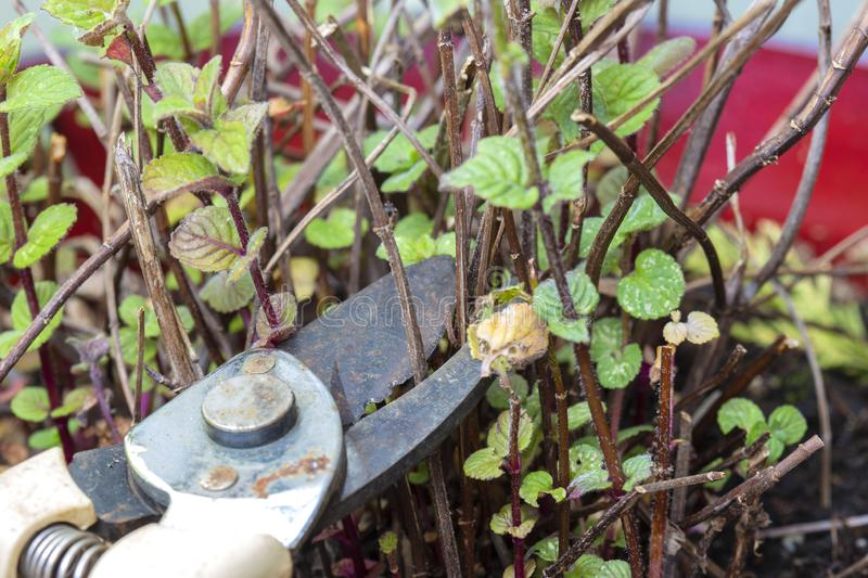 Gardener cutting pruning dead twigs from a mint plant,  using secateurs. Gardener cutting pruning dead twigs from a garden mint plant,  using secateurs royalty free stock photo