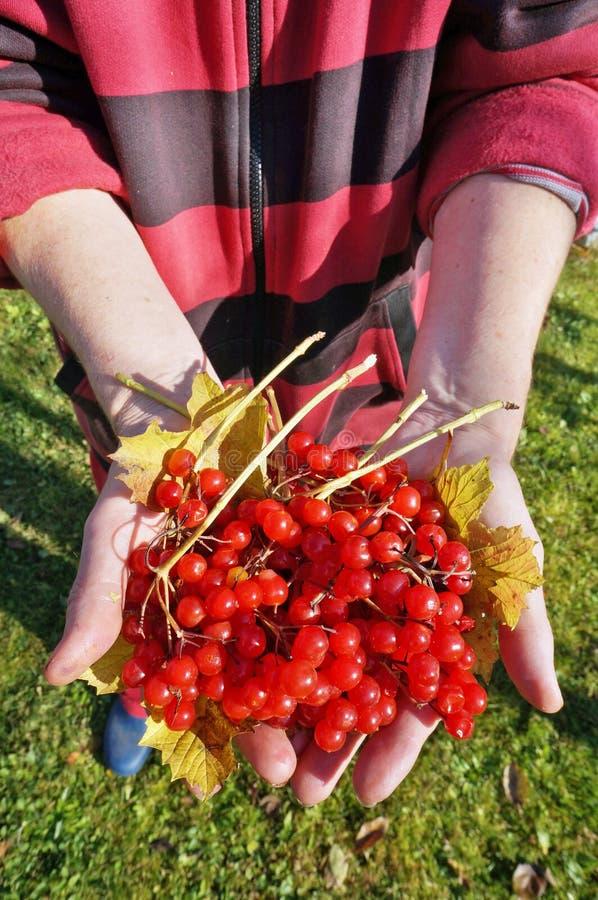 Gardener elderly woman holding ripe small red viburnum berries stock image
