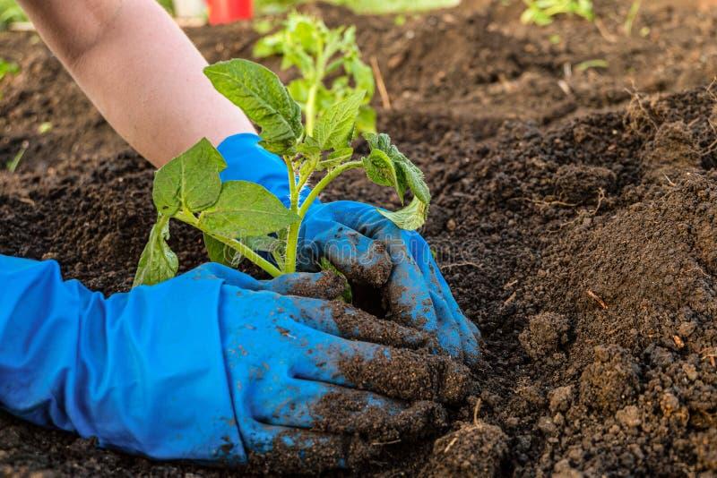 Gardener está plantando mudas de tomate em solo aberto imagem de stock royalty free
