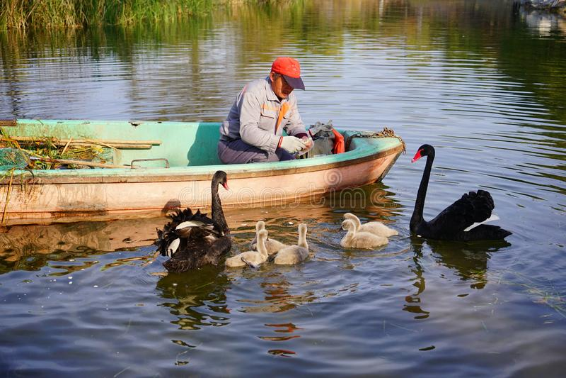 Gardener and Family of black swan on lake royalty free stock photo