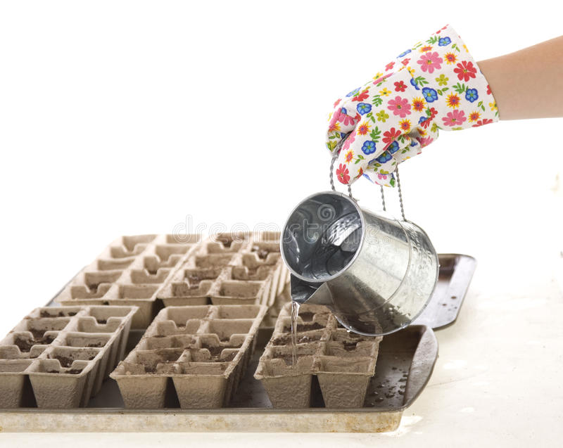 Download Gardener, Gloves Pouring Water Into Pots Stock Photo - Image: 14060616