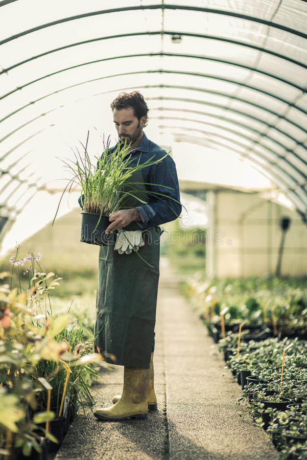 Gardener in a greenhouse. Gardener working in a green house royalty free stock photography