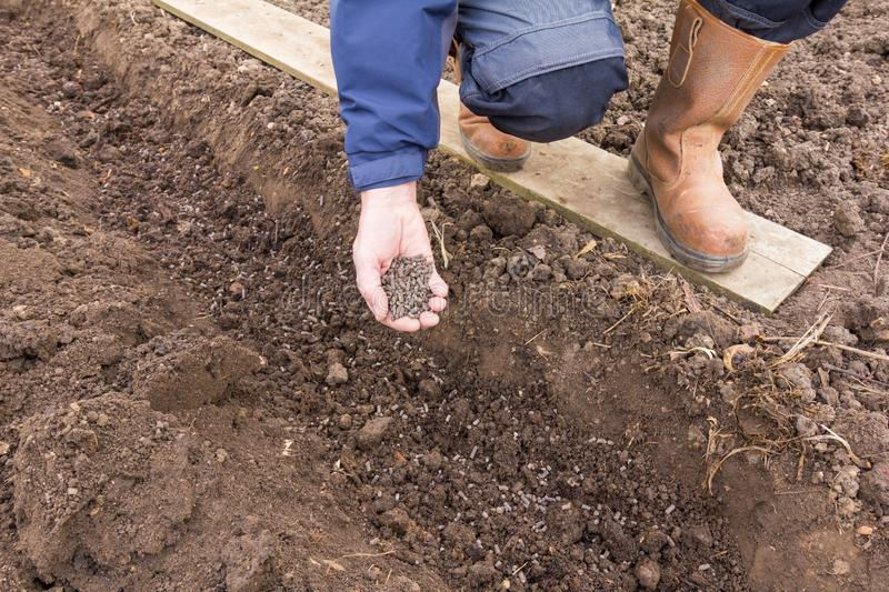 Adding fertiliser to soil on an allotment. Gardener with a hand full of chicken manure pellets to add to soil royalty free stock photo