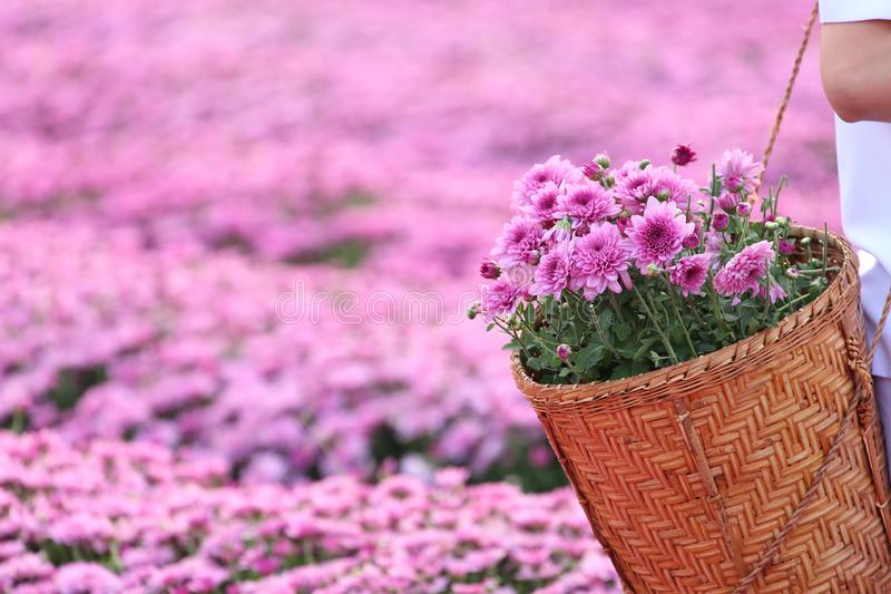 Gardener hand picking pink chrysanthemum flowers in the field with copy space. Gardener hand picking pink chrysanthemum flowers in the field royalty free stock photography