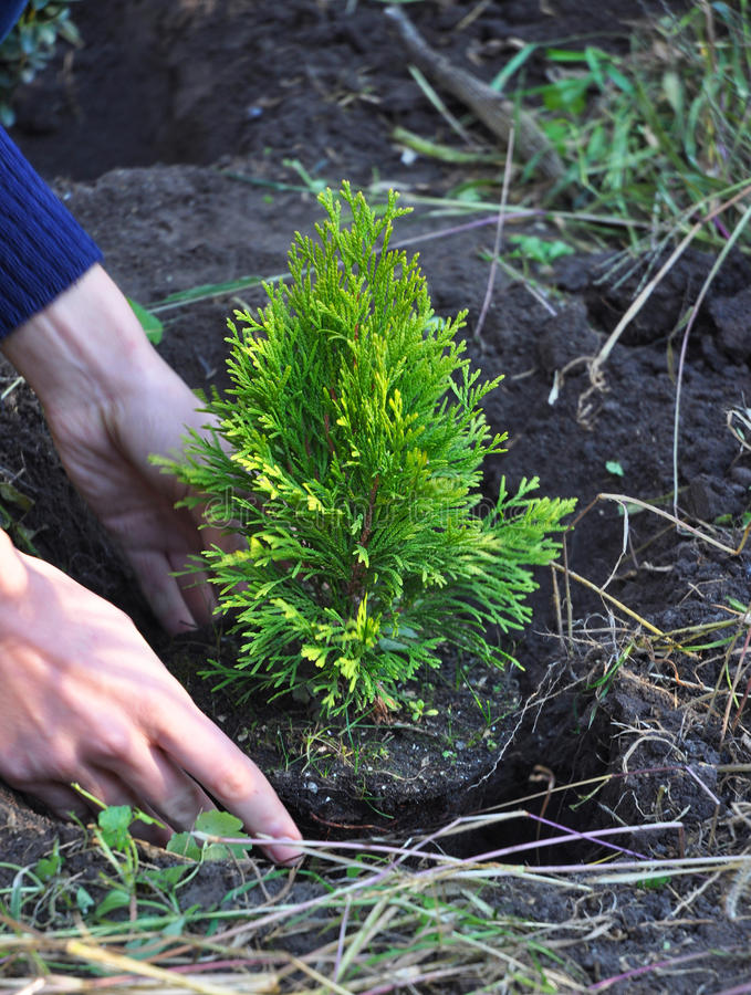 Gardener Hands Planting Cypress, Thuja with Roots (Thuja Occidentalis Golden Brabant) royalty free stock photo