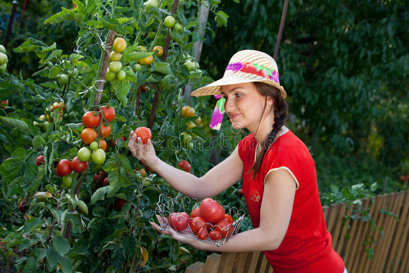 Gardener harvesting tomatoes stock photo