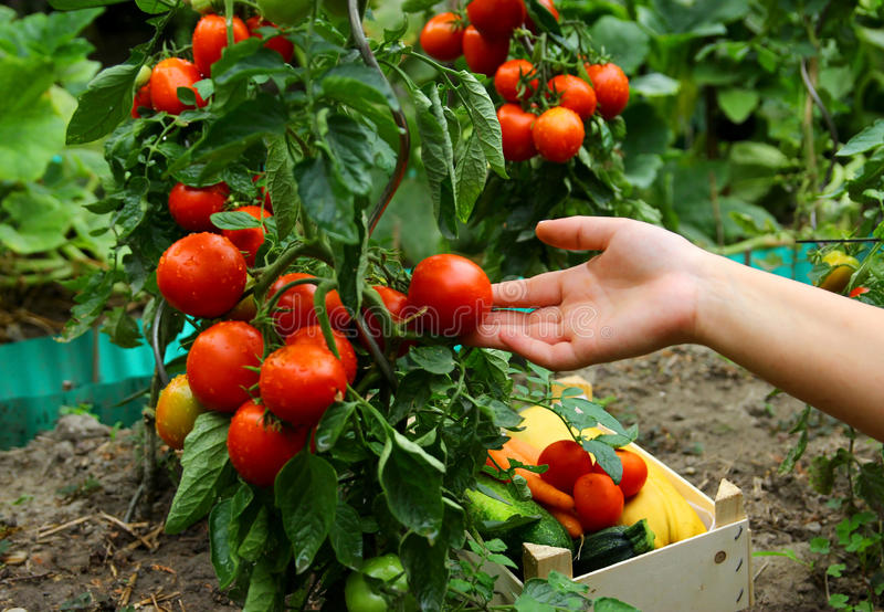 Gardener is Holding a Fresh Tomato royalty free stock photography