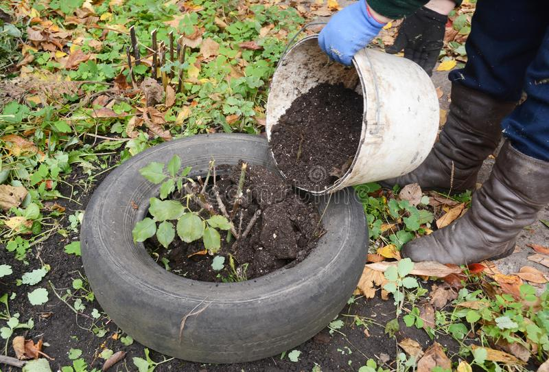 Gardener insulate roses bush with dirt. Winter protection for garden roses bush with peat and old car tires. Gardener insulate roses bush with dirt. Winter stock image