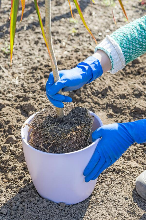 Gardener mantém na mão plantas de casa preparadas para transplante em um novo pote Comunicação de plantas que apresentam raízes n imagem de stock