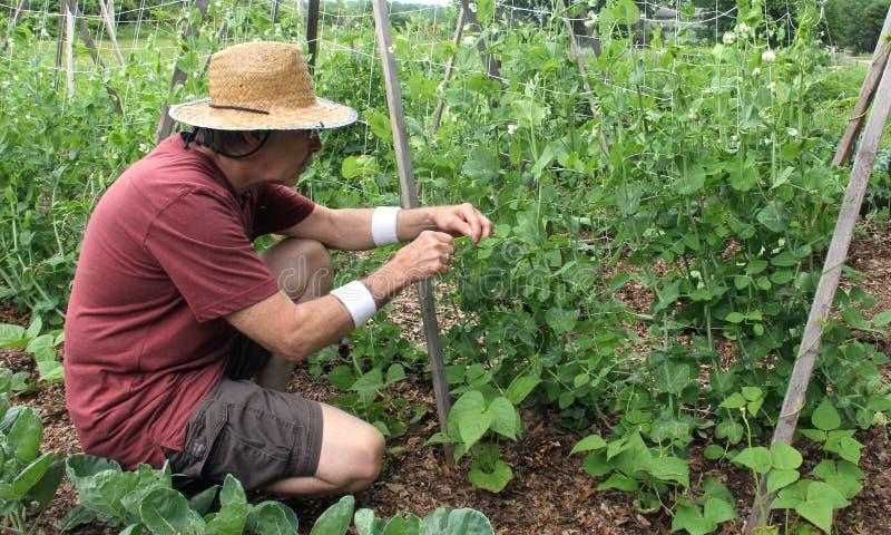 Gardener picking peas from a garden. Gardener in a garden wearing a straw hat picking sweet peas from the vine stock photos