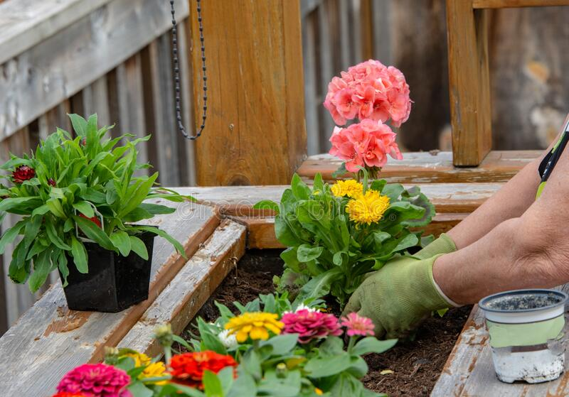 Spring planting flowers in a wooden box stock images